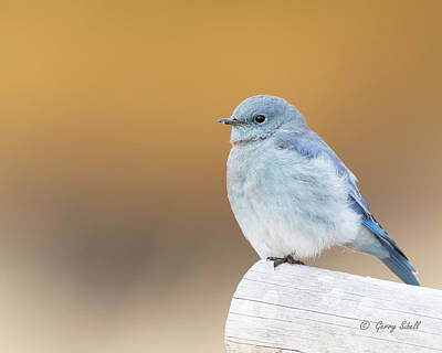 Photograph - M Bluebird by Gerry Sibell