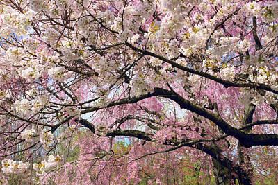 Photograph - Cherry Blossom Cascade by Jessica Jenney