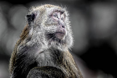 Photograph - Macaque - Looking Back by Ron Pate