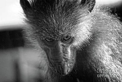 Photograph - Macaque Monkey  by Doc Braham