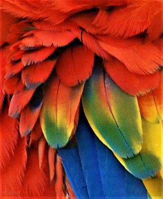 Photograph - Macaw Feathers I I I by Rob Hans