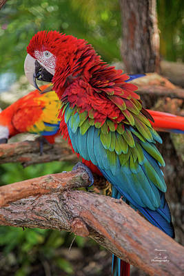 Photograph - Macaw by Kevin Banker