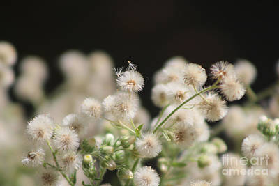 Photograph - Macro Of Fluffy Seed Heads At Sunnyland Estates by Colleen Cornelius