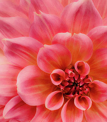 Photograph - Macro Pink Dahlia  by Julie Palencia