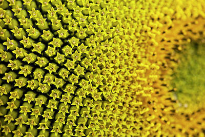 Photograph - Macro Shot Of A Sunflower by Philartphace