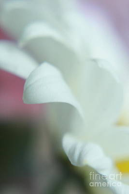 Photograph - Macro White Daisy by TJ Fox
