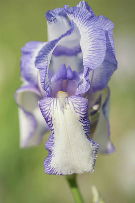 Photograph - Madame Chereau 1.the Beauty Of Irises by Jenny Rainbow