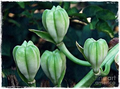 Lilies Royalty-Free and Rights-Managed Images - Madonna Lilies by Sarah Loft