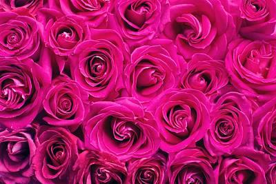 Magenta Roses Art Print