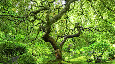 Royalty-Free and Rights-Managed Images - Magical Japanese Maple Tree by Michael Ver Sprill