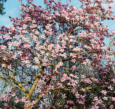Photograph - Magnolia Campbellii Tree Flowers In Spring  by Tim Gainey