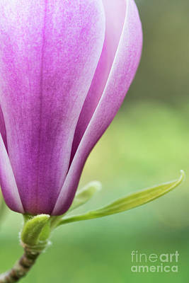 Photograph - Magnolia Denudata Forests Pink by Tim Gainey