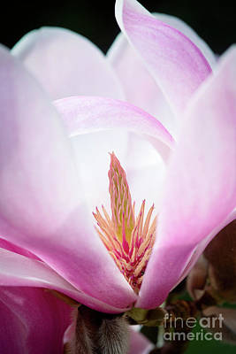 Photograph - Magnolia Forrest's Pink by Tim Gainey