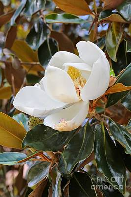 Photograph - Magnolia Grandiflora Tree With Blossom by Carol Groenen