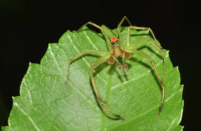 Photograph - Magnolia Green Jumping Spider by Larah McElroy