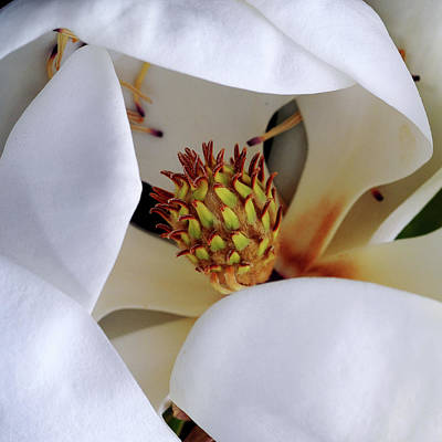 Photograph - Magnolia by John Rodrigues