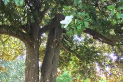 Vintage Movie Stars - Magnolia Tree On Covington Square 3 by Cathy Lindsey