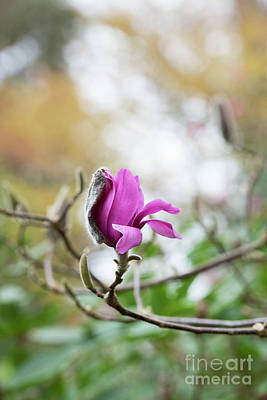 Photograph - Magnolia Vulcan Flower Opening by Tim Gainey