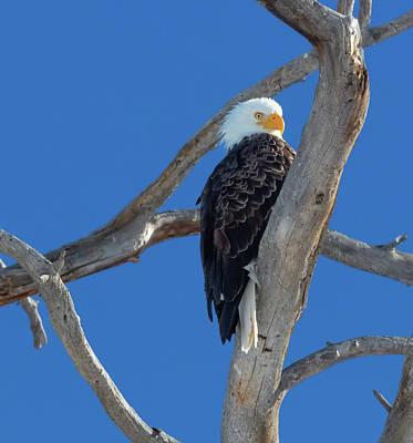 Photograph - Majestic Bald Eagle by Jaquita Watters
