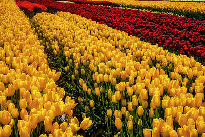 Photograph - Majestic Beautiful Tulip Fields by Garry Gay