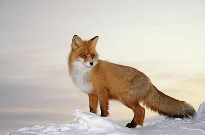 Freedom Photograph - Majestic Fox by Dmitrynd
