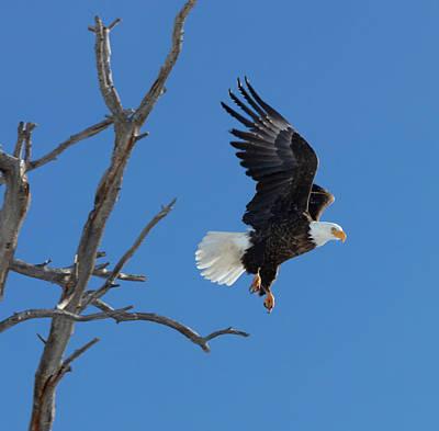 Photograph - Majestic Freedom Flight by Jaquita Watters