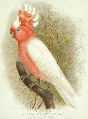 Cockatoo Wall Art - Painting - Major Mitchell's Cockatoo by Gracius Broinowski