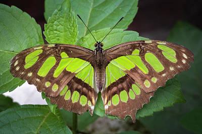 Photograph - Malachite Butterfly Jardin Botanico Del Quindio Calarca Colombia by Adam Rainoff
