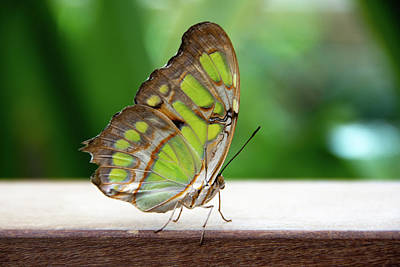 Photograph - Malachite Butterfly Profile by Jennifer Wick