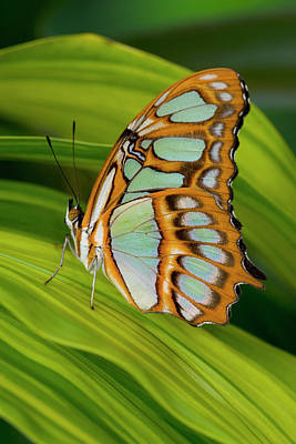 Photograph - Malachite Butterfly Siproeta Stelenes by Darrell Gulin