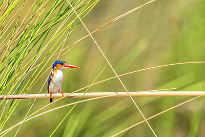 Photograph - Malachite Kingfisher On Watch by Kay Brewer