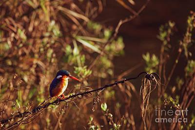 Wall Art - Photograph - Malachite Kingfisher by Pippa Dini
