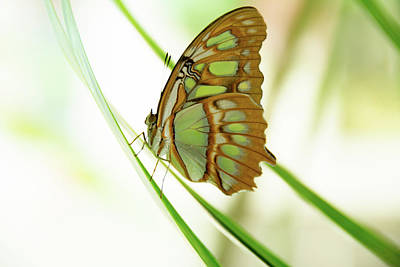 Photograph - Malachites Butterfly by Jennifer Wick