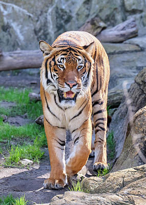 Photograph - Malayan Tiger Fort Worth Zoo 0212 by Rospotte Photography