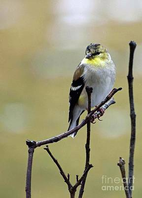 Birds Rights Managed Images - Male American Goldfinch Molting In February Royalty-Free Image by Cindy Treger