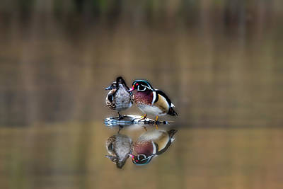 Photograph - Male And Female Wood Ducks Hanging Out On Island by Dan Friend