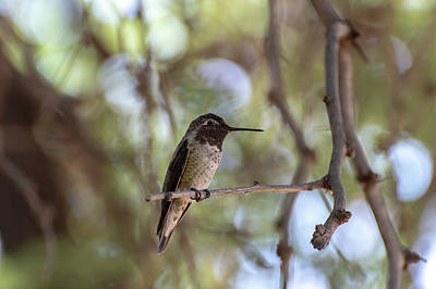 Photograph - Male Anna's Hummingbird by Douglas Killourie