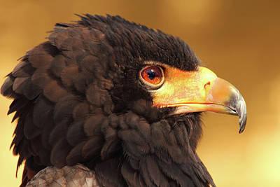 Eagle Photograph - Male Bateleur Eagle In Head Shot by Raj Kamal