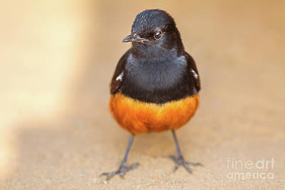 Photograph - Male Cliff Chat by Benny Marty