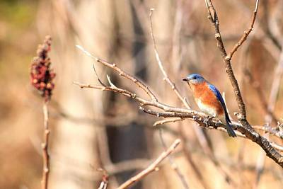Photograph - Male Eastern Bluebird   by Carol Montoya