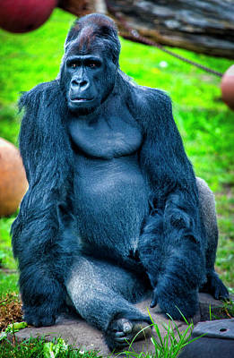 Photograph - Male Gorilla  by Garry Gay