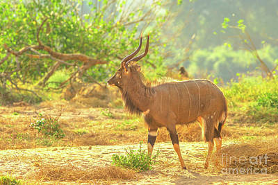 Photograph - Male Greater Nyala Of Kruger National Park by Benny Marty