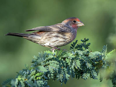 Photograph - Male House Finch 6479-102818-1cr by Tam Ryan