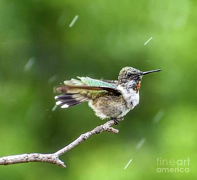Basketball Patents - Male Juvenile Ruby-throated Hummingbird Enjoying The Rain by Cindy Treger