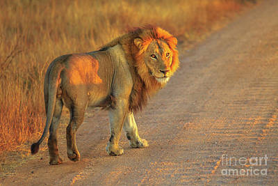 Photograph - Male Lion Africa by Benny Marty