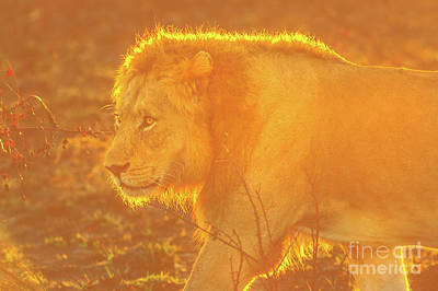 Photograph - Male Lion At Sunrise by Benny Marty