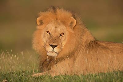 Lying Down Photograph - Male Lion At Sunrise by Michael J. Cohen, Photographer