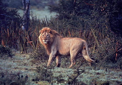 Photograph - Male Lion In The Wild by John Dominis