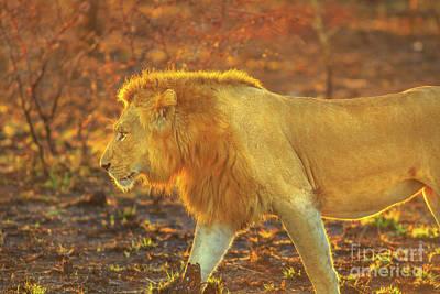 Photograph - Male Lion Safari by Benny Marty
