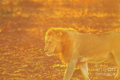 Photograph - Male Lion Walking by Benny Marty